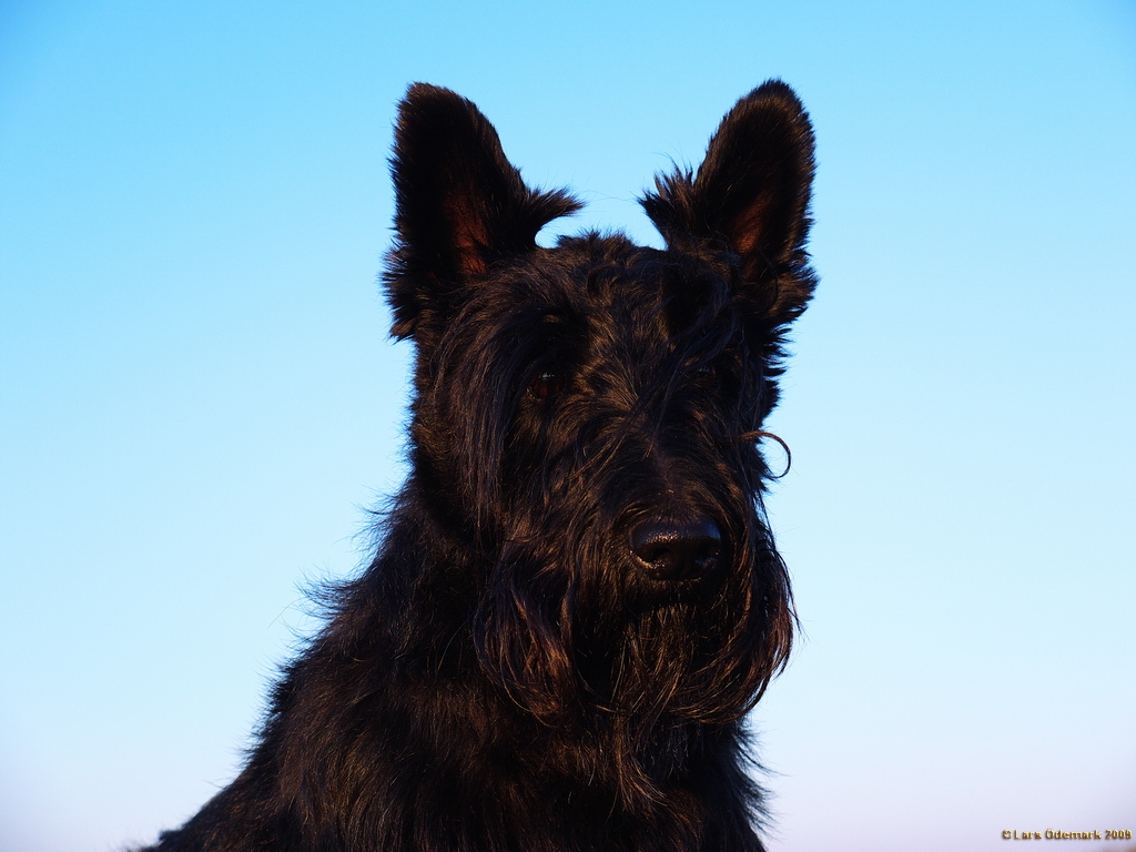 El scottish terrier, el otro protagonista del whisky Black&White/Perricatessen