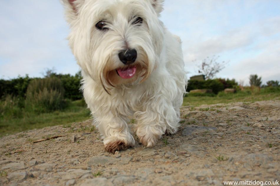 El westie, una raza de perro muy famosa por el whisky/Perricatessen