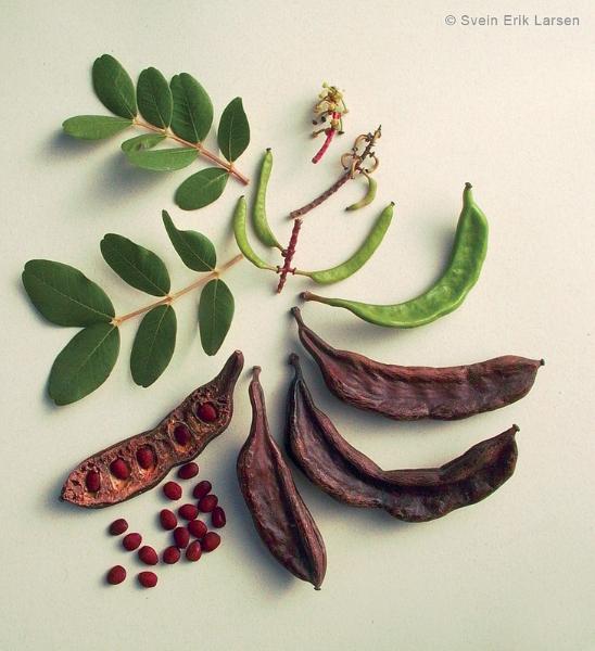 Algarroba, fruta en forma de vaina del algarrobo.  / Foto: Svein Erik Larsen