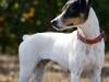 El perro bodeguero se utilizaba para cazar ratones entre las viejas barricas de vino /Foto: http://www.mundoanimal.pcburn.es - Perricatessen