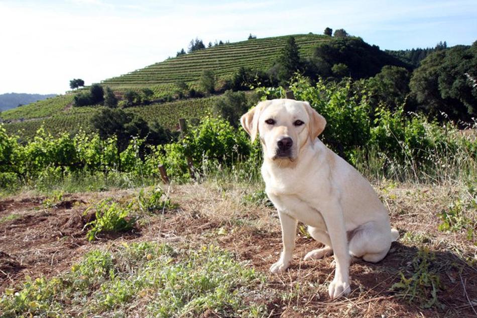 El Labrador se siente como pez en el agua entre viñas - Perricatessen /Foto de Winery Dogs