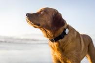 Con el collar Whistle conocerás el gasto enegético de tu perro y adaptarás su alimentación