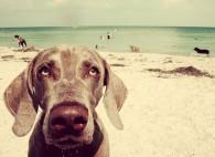 http://flaglerlive.com/19629/dogs-flagler-beach-rules/