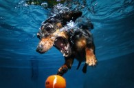 Fotografía de Underwater dogs book by Seth Casteel's